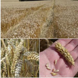 英国南東部ケント州で成熟期を迎えた冬小麦畑