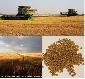 カナダアルバータ州の春小麦