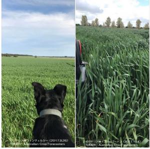 豪州小麦間もなく出穂期