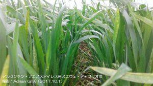 アルゼンチンの小麦1-1