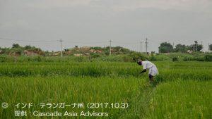 カリフ米の作付けが開始1-3