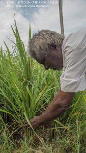 カリフ米の作付けが開始1-1