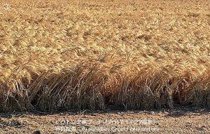 小麦の収穫が雨で遅延