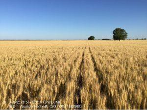 小麦畑(アルゼンチン)1-1.