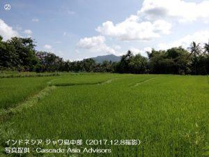 雨季米の生育が進展中(インドネシア)1-2.