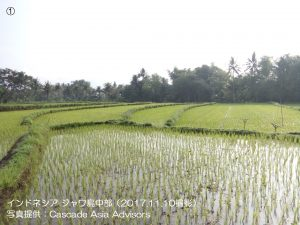 雨季米の生育が進展中(インドネシア)1-1