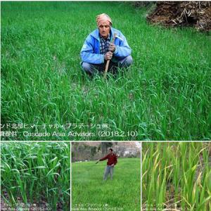 小麦の播種面積は減少(インド)