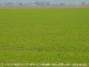 デュラム小麦の生育は順調(イタリア北部)1-1.