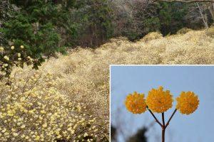 早春の黄色い手毬